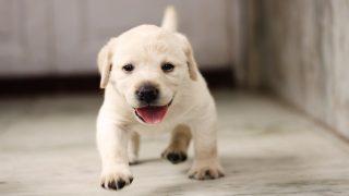 がん探知犬ラブラドールレトリバーの発見率は驚異の99.7%