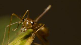 ヒアリを利用する天敵「ゾンビバエ」のあまりにも残酷な生態